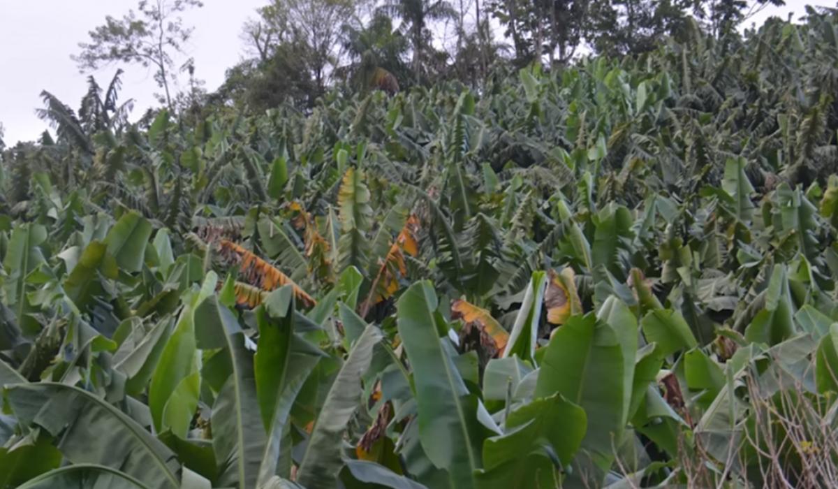 Fusarium en cultivo