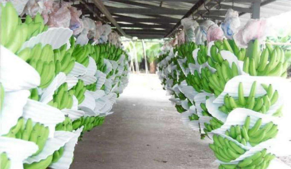 banano-crecio-en-exportaciones-imagen-1