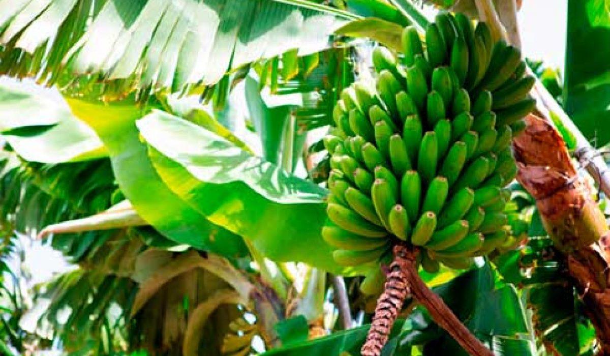 banano-cultivo sensores remotos